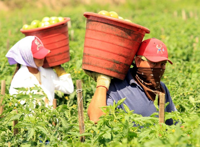 Farmworkers pick tomatoes in Immokalee. The Coalition of Immokalee Worers has improved conditions and pay for farmworkers by reaching agreements with restaurant chains and other companies using the crops they harvest.
