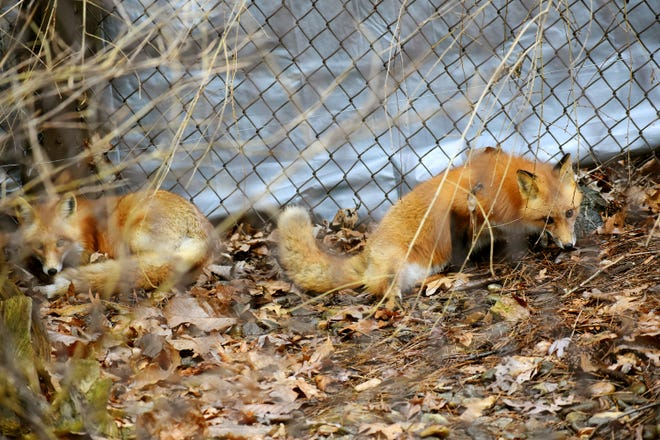 Red foxes at the WNC Nature Center. Starting July 1, the cost of admission will rise at the center.