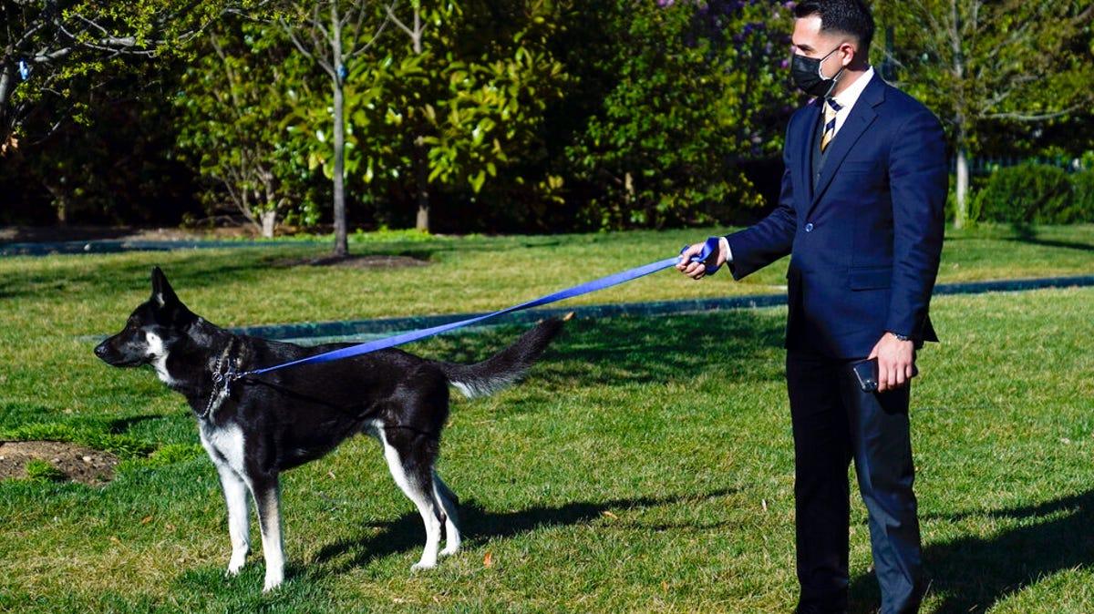 Major training: Biden dog gets help adjusting to White House 1