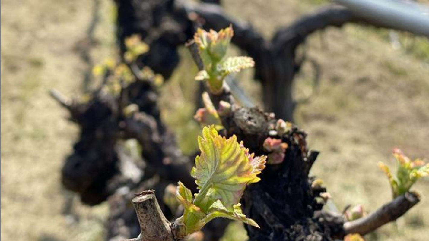 Napa Valley welcomes new growing season after brutal 2020