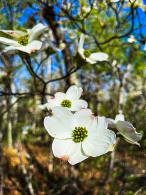 Flowering dogwood was officially made Missouri's state tree in 1955.