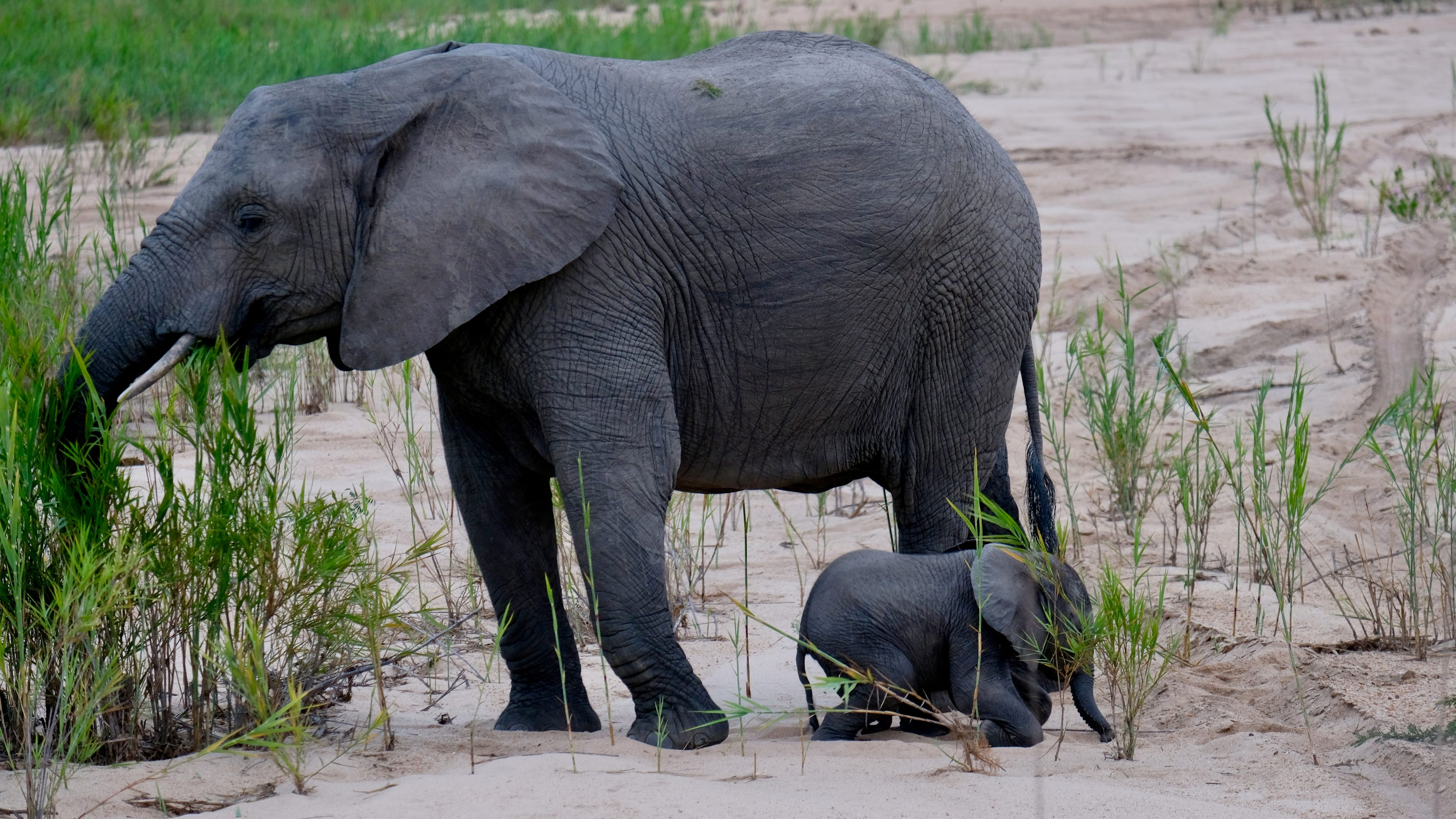 Elephants trample suspected poacher in South African park; second poacher injured and missing