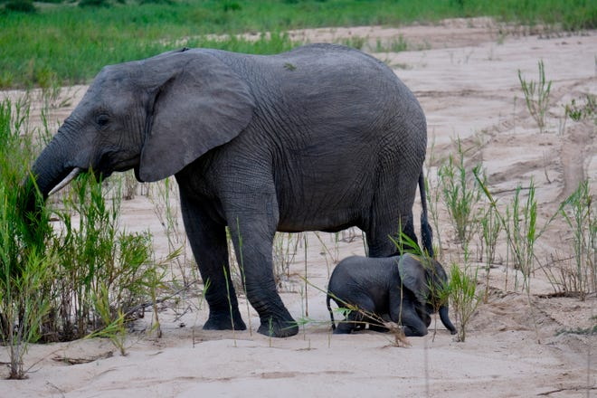 Elephants at a South African game preserve. HB 3710 now pending at Texas Capitol would bar direct contact with elephants at Texas facilities and attractions.