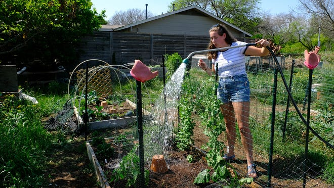 Sarah Asch waters her newly replanted tomato in her garden plot at Emerald Wood Community Garden in South Austin. This is her first year to try a garden.