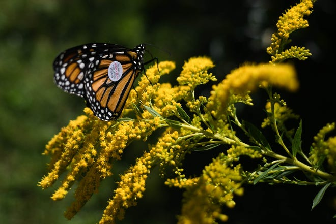 Spring has sprung, and so have seasonal allergies. But maybe the beauty of the season will help sufferers get through. Here, a Monarch butterfly collects pollen at The Dawes Arboretum in a file photo.