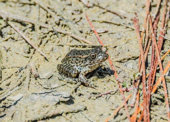 Gopherfrog