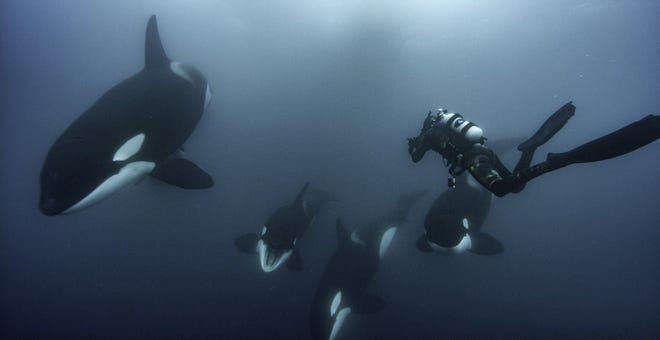 Brian Skerry documents a special orca society off the north island of New Zealand.