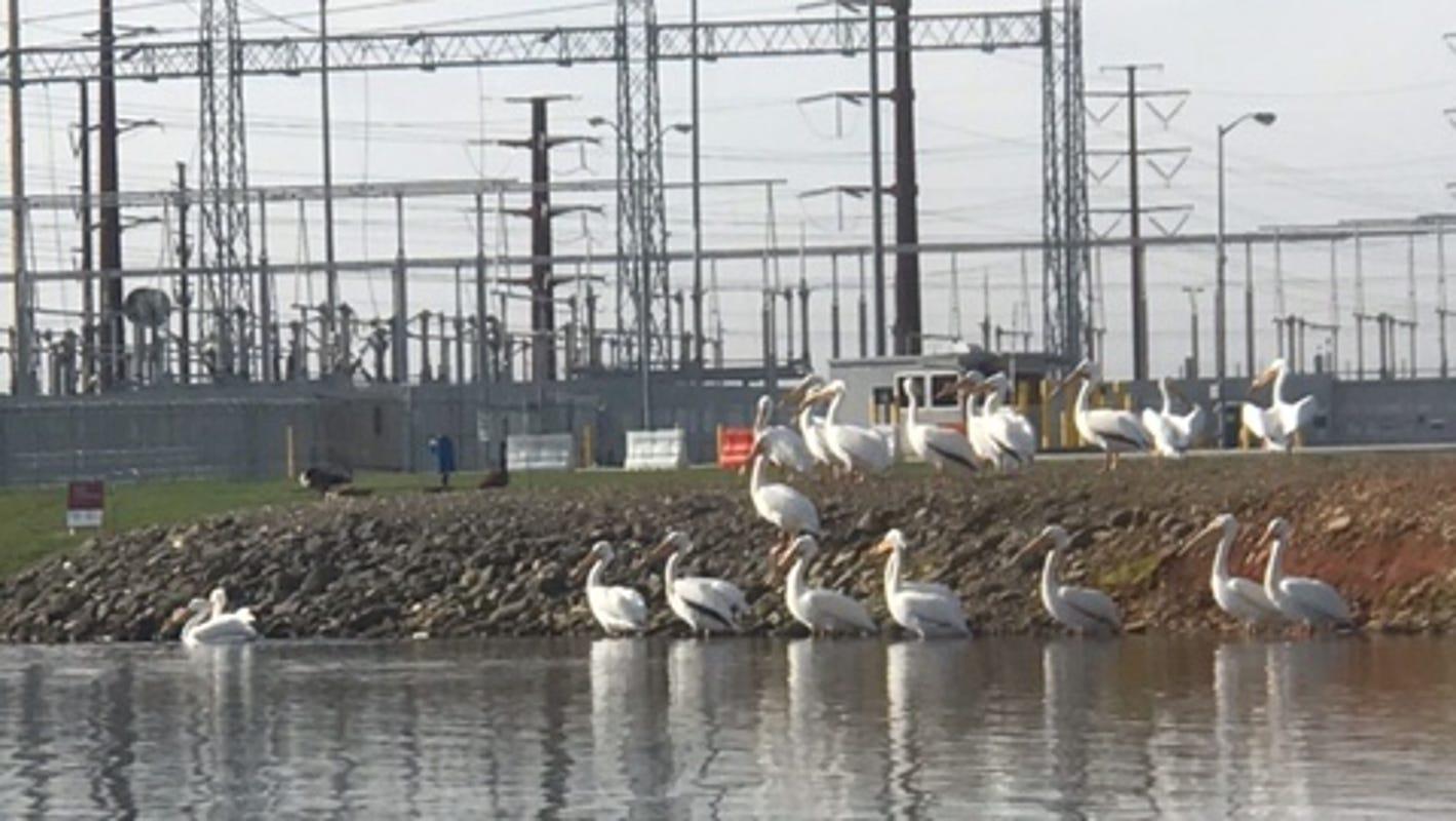 Answer Man: White pelicans on Lake Julian? Greyhound bus station closure?