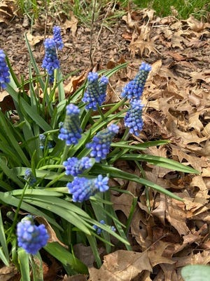 Muscari armeniacum, a common grape hyacinth, is dotting many flower beds, , including those of this columnist, with its radiant blue.
