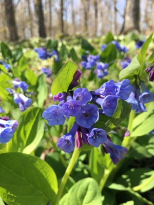 Virginia bluebells at Frank and Phyllis Yuhas Woods, one of Red-tail Land Conservancy's nature preserves.