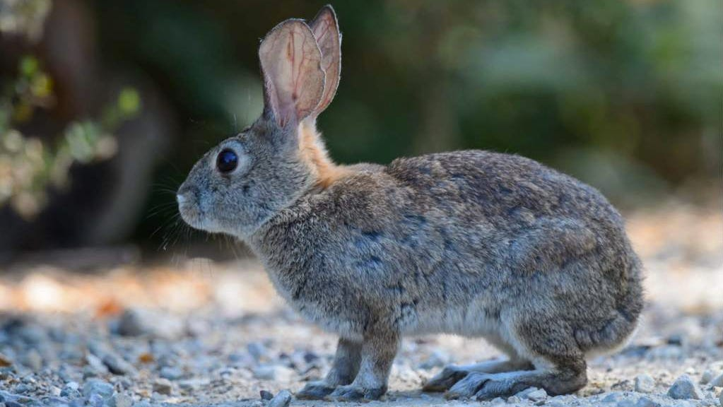 Deadly virus in rabbits threatens to upend some Western ecosystems