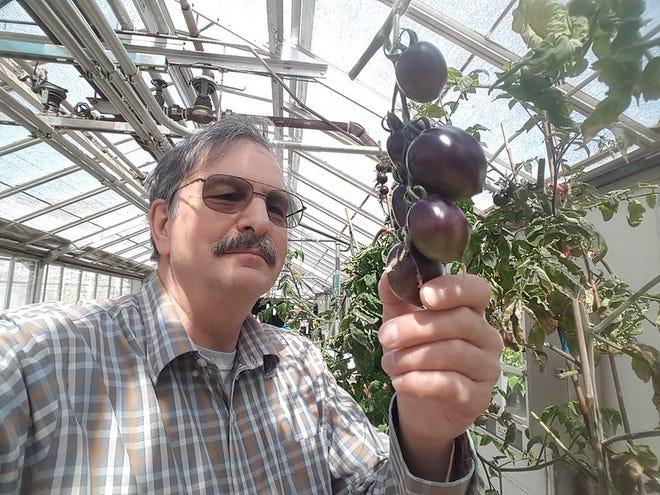Oregon State University professor Jim Myers with the Midnight Roma tomato.