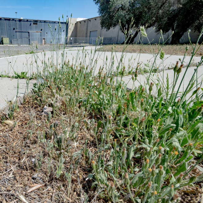 The Lindsay City Council approved a conditional use permit for the indoor cultivation, manufacturing and distribution of commercial cannabis for property located at the corner of North Westwood Avenue and West Tulare Road. It was home to Consolidated Olive Growers until 1992 and has been dormant since July of 2011 when its last tenant Tulare Frozen Foods shuttered.