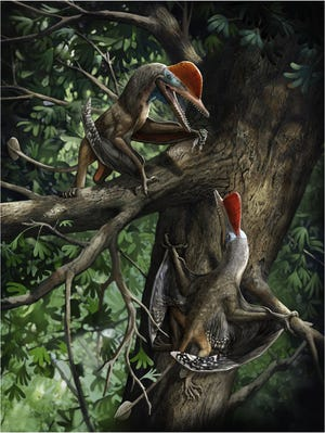 A reconstruction of  how the K. antipollicatus or 'Monkeydactyl' used the opposed pollex.