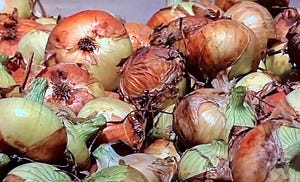 A bin of Vidalia onions is ready to be sorted and bagged for marketing.