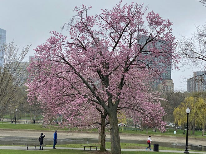 The magnolia trees are blooming in Boston. There are plenty of them to see along Commonwealth Avenue and Beacon Street as well as many other areas in the Back Bay. The Garden Club of the Back Bay has been helping residents plant magnolia trees for many years. In 1963, Laura Dwight led the first magnolia planting along Commonwealth Avenue, creating the spectacular display of pink blossoms that people get to enjoy today. Learn more about the club at https://www.gardenclubbackbay.org.