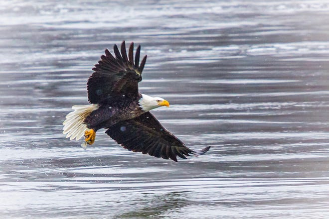 Eagle Days photo contest winner:  1st – Marcy Maxwell