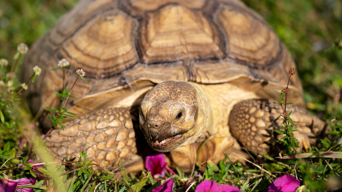 Meet Tank, the appropriately named tortoise at Adam's Animal Encounters 1