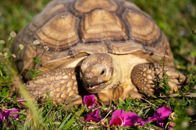 Tank, a sulcata tortoise, resides at Adam's Animal Encounters on Pine Island.