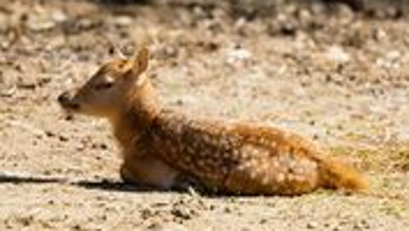 Memphis Zoo welcomes baby from deer species extinct in the wild