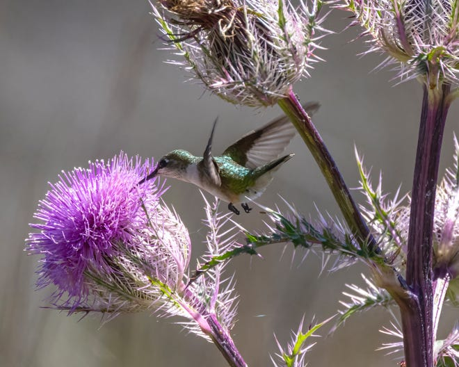Lately, many ruby-throated hummingbirds have been sighted on purple thistle flowers at the St. Marks National Wildlife Refuge.