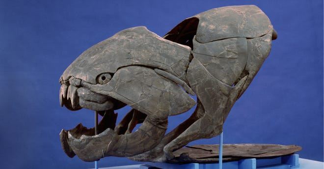 The giant, armored skull of a Dunkleosteus terrelli at the Cleveland  Museum of Natural History, which has some of the best preserved collections of fossils of the prehistoric fish.