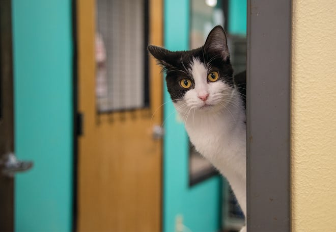A shelter cat at Dogwood Animal Shelter peaks its head around the corner in the cat room.