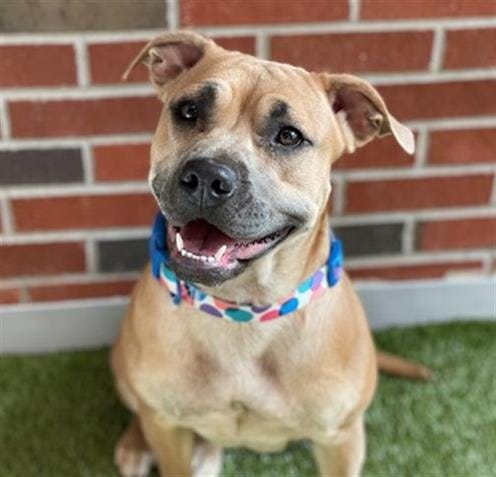 Havana is low-key and cuddly. She would thrive in a nice, quiet household. She is medium-size and a pretty tan color with black points. She's about 2 years old and a spayed female. To meet Havana, call 405-216-7615 or visit the Edmond Animal Shelter, 2424 Old Timbers Drive.