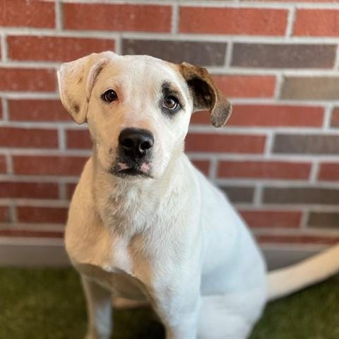 Gonzo is about 11 months old and a long-legged, good-natured fellow. He's a large-size dog, mostly white with a cute patch over one eye. He's playful and affectionate and loves to run around the yard with his buddies. Call 405-216-7615 or visit the Edmond Animal Shelter, 2424 Old Timbers Drive, to meet Gonzo.