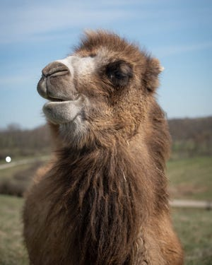 Lolly the Camel at the Wilds