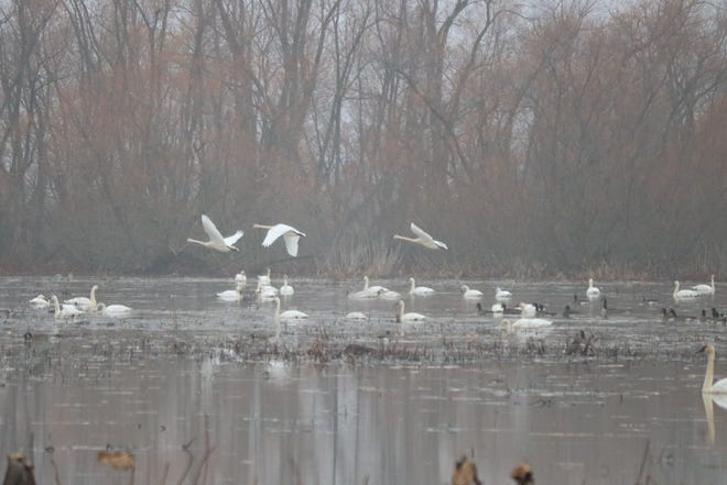 A group of researchers is asking for help from the public with study on trumpeter swans if they spot any tagged in the wild, such as those at the Ottawa National Wildlife Refuge.