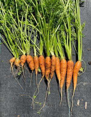 """According to voluntary industry standards, at least 40% these carrots could not be sold because of """"serious damage"""" or """"defect,"""" which seriously affects the general appearance of the carrots in the container."""