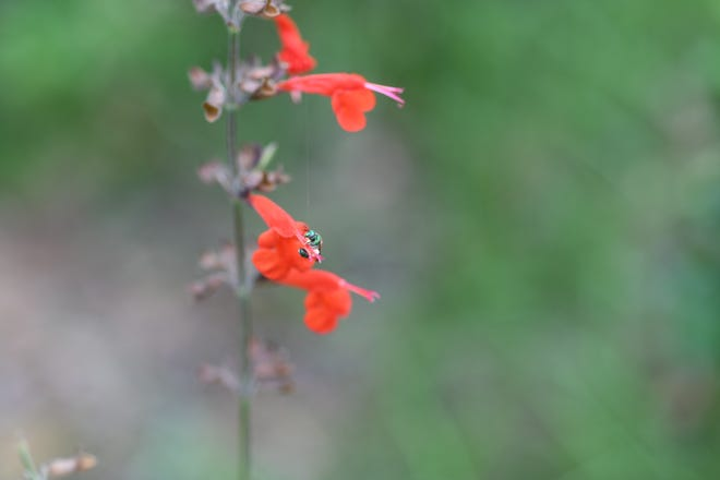 Tropical sage heralds spring with its bright color, and advertised a meal for hungry pollinators.