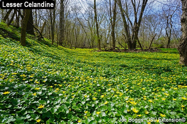 Lesser Celandine is an invasive species which quickly takes over wooded areas.