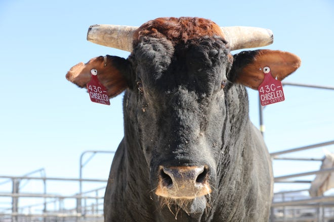 Chiseled is the latest great bucking bull from D&H Cattle Company in Dickson.