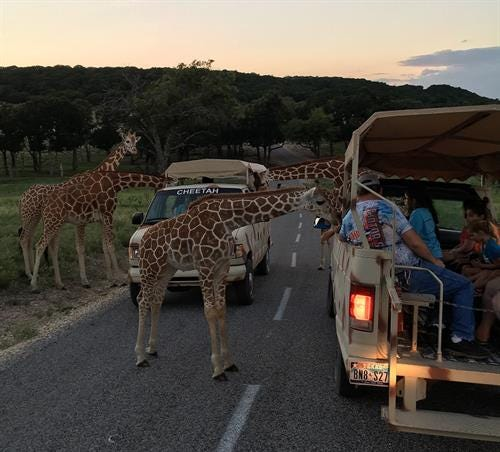 Fossil Rim Wildlife Center is hosting Twilight T.W.A.N.G., afun event where patrons can spend an evening exploring the nature of Texas.