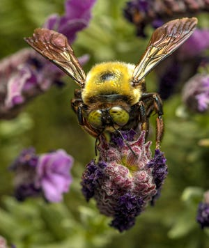 A bee collects pollen on French Lavender flowers at the South Carolina Botanical Gardens at Clemson University in April 2021.