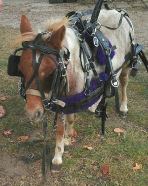 Prancer the pony, today with harness and as a young pony.