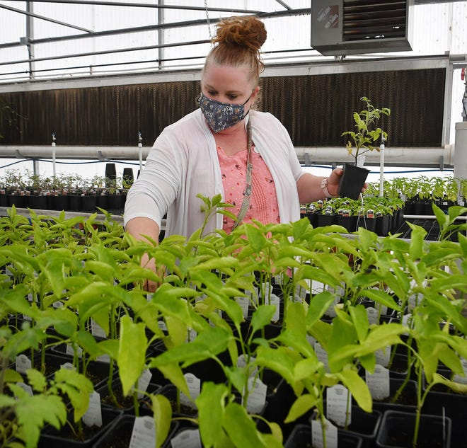 Emily Gutierrez shops for pepper plants at the WFISD Career Education Center plant sale Friday afternoon. The sale continues Saturday, 8 a.m. to noon in the greenhouse on the north side of the campus.