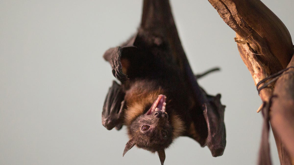 Dwindling of bat population goes seemingly unnoticed