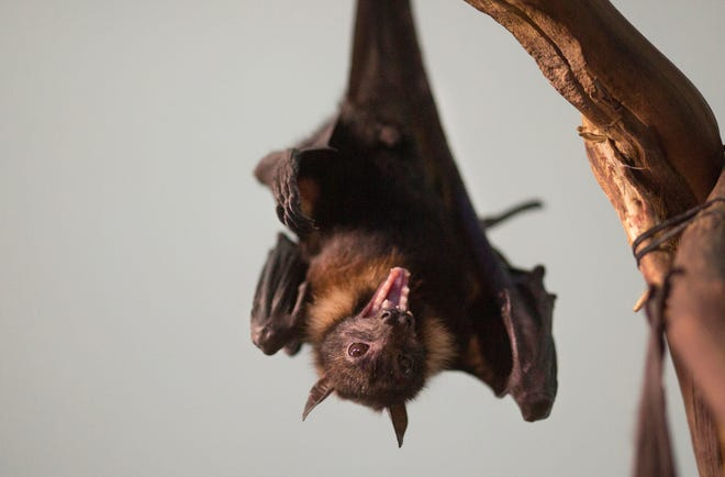 A giant fruit bat at the Cincinnati Zoo in 2018.