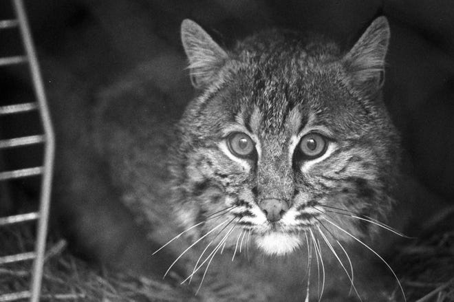 A Pender woman was attacked by a bobcat (not the one shown here) earlier this month.