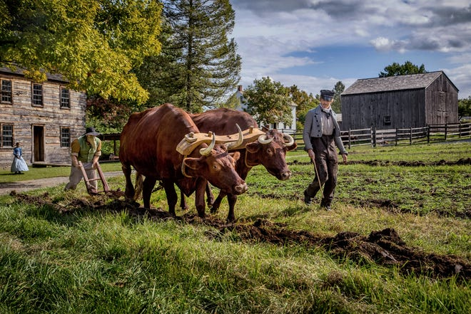 An oxen plowing at the Genesee Country Village & Museum.