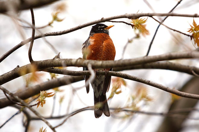 A robin sits in a tree with its spring blooms on it on Friday April 16.