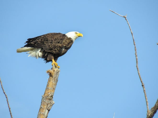 A bald eagle perches atop a dead tree trunk along the beach road at East Harbor State park.