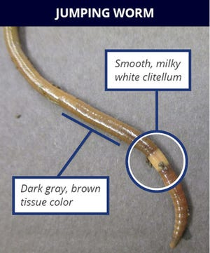 Jumping worms are larger than other earthworms, about 4 to 8 inches long, with glossy skin and a more rigid, stiff structure. They thrash when touched or disturbed, giving them their unique nicknames.