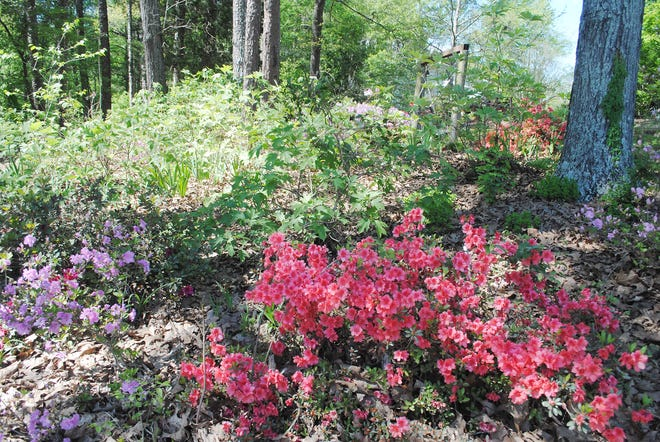 In this lower garden along the edge of the woods, the bed is covered with azaleas, oakleaf hydrangeas and red buckeyes, along with irises and Lenten roses. This lovely garden is virtually carefree.