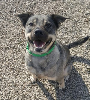 Izzy is a Australian Cattle Dog looking for a new home.