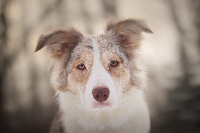 Port Huron Border collie Music is running for the 2021 American Humane Hero Dog Award in the service category.