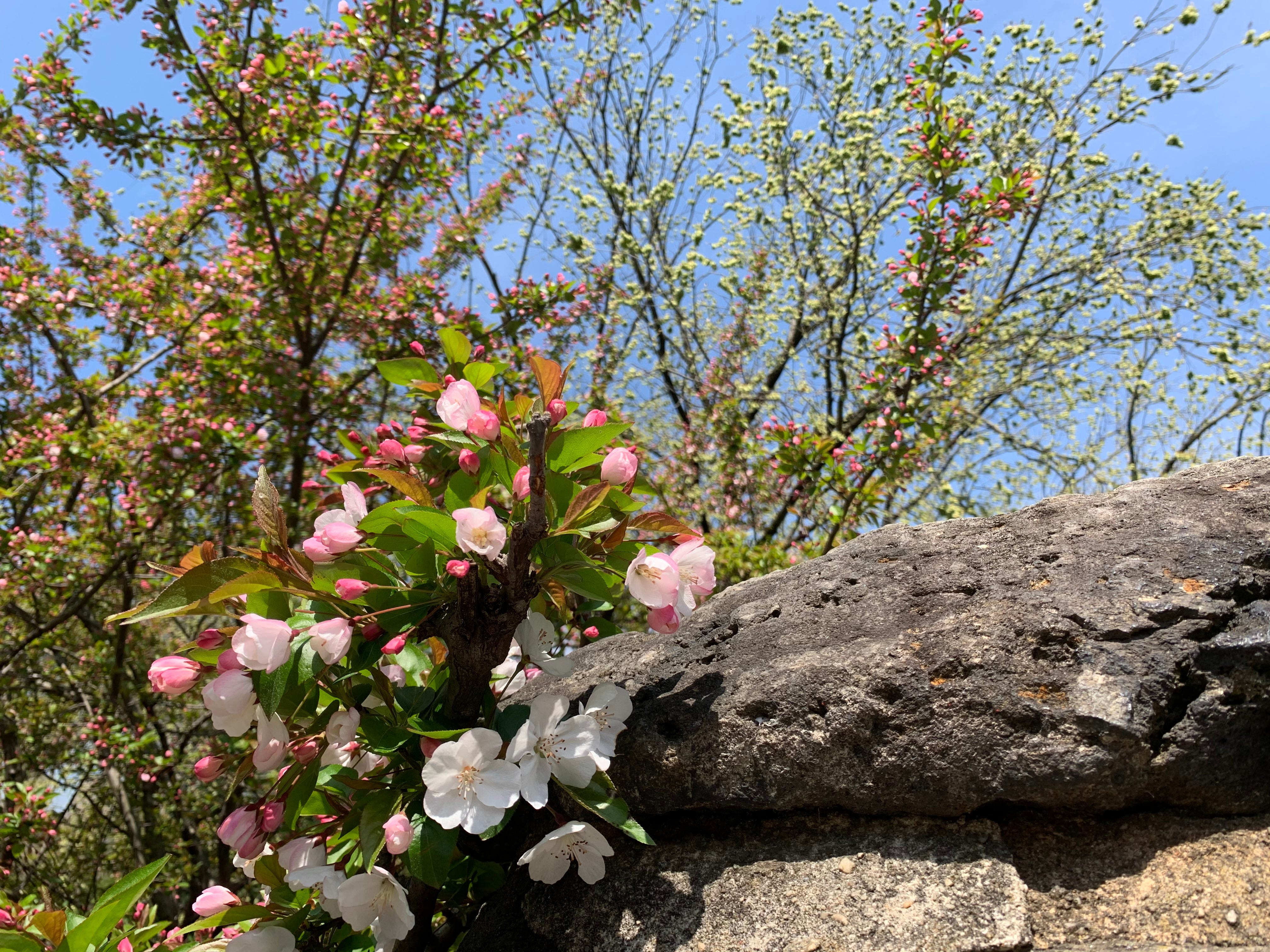 Blossoms in Central Park.